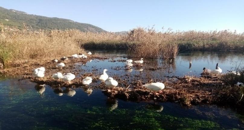 Akyaka Azmağı Kışın Gelmesiyle Kaz ve Ördeklere Kaldı!