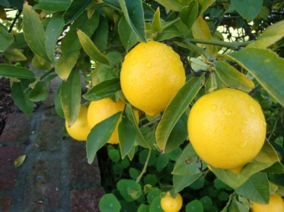 Muğla'da Limondan Alınan Verim Düştü