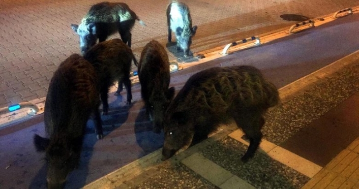 Marmaris'te Aç Kalan Domuzlar Şehre İndi!
