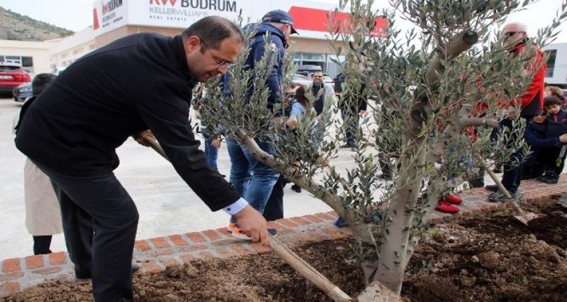 Bodrum'da Totemin Yerini Zeytin Ağaçları Aldı