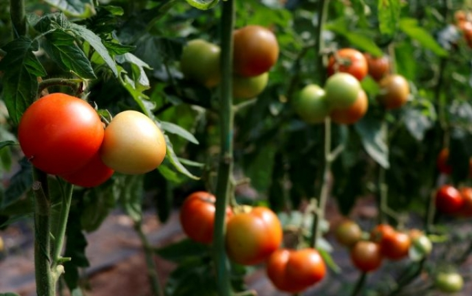 Muğla'da Yaş Sebze ve Meyve Üretimiyle İhracatı Sürüyor