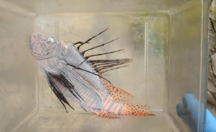 Muğla'da Zehirli Tür İstilası! Balon Balığından Sonra Yeni Tehlike