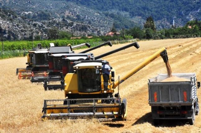 Türkiye'nin İlk Buğday Hasadı Dalaman TİGEM'de Başladı