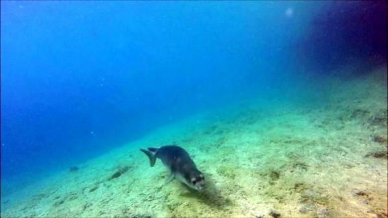 Akdeniz Foklarının Üreme Dönemleri için Yapay Platform