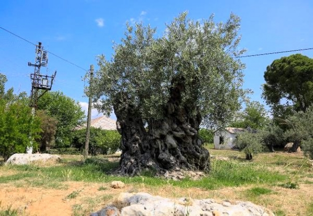 Asırlık Zeytin Ağaçlarının Meyvesi Açık Artırmayla Satılacak