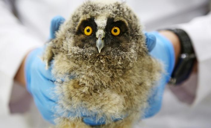 Muğla'da Bulunan Baykuş Yavrusu, Koruma Altına Alındı