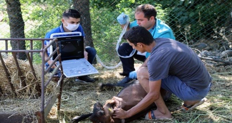 Muğla'da Kıl Keçilerine Ultrasonlu Muayene Yapılıyor