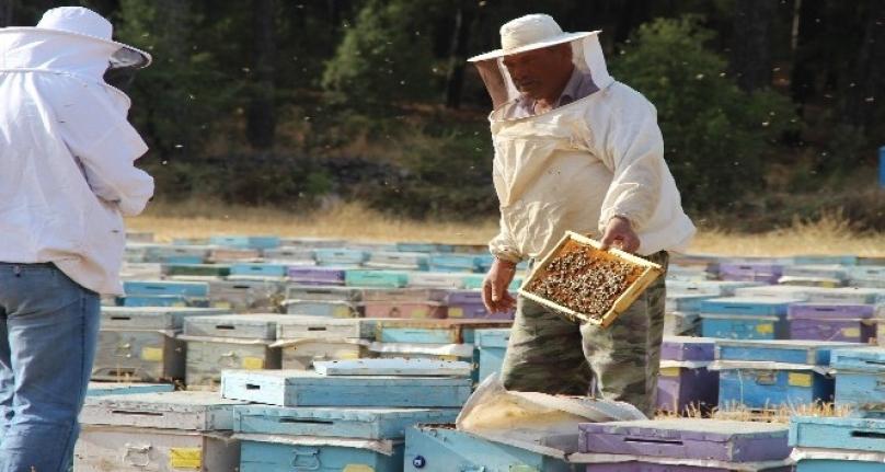 Kuraklık Çam Balını Vurdu Arılar Açlıkla Karşı Karşıya