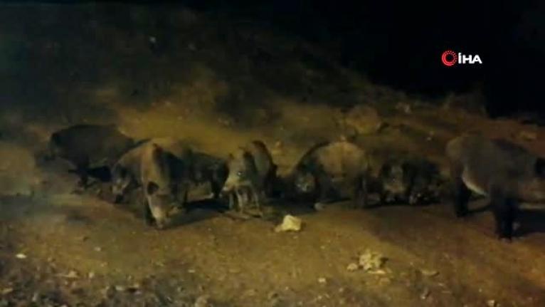 Muğla'da Domuzlar Marmaris'i Mesken Tuttu!