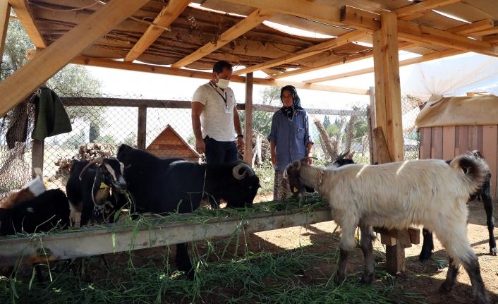 Muğla'da Kıl Keçisi Üreticisinin Yüzü Gülüyor
