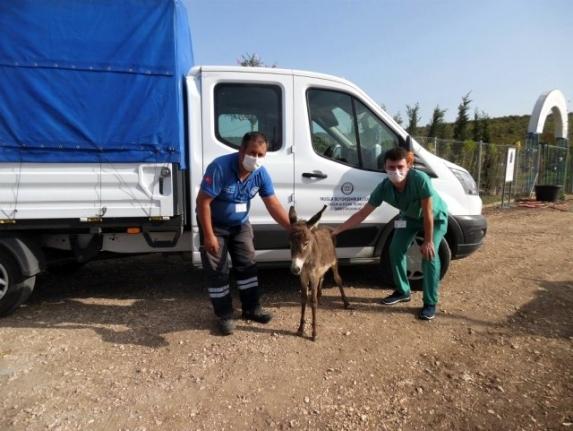 Muğla'da Tedavisi Tamamlanan 3 Eşek Bursa'ya Gönderildi