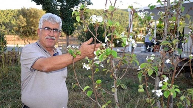 Bodrum'da Armut Ağacı Çiçek Açıp Meyve Verdi