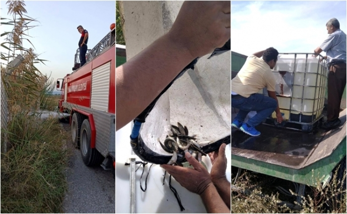 Dalaman'da Sulama Kanalında Mahsur Kalan Balıklar Kurtarıldı