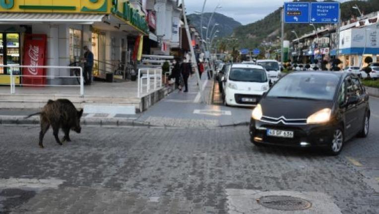 Marmaris'te Sokağa İnen Yaban Domuzu Trafiği Kilitledi