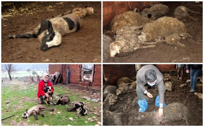 Muğla'da Sokak Köpekleri 63 Küçükbaş Hayvanı Telef Etti!