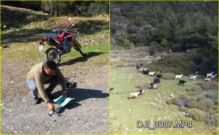 Bodrumlu Çoban, Koyunlarını Gütmek İçin Drone Kullanıyor