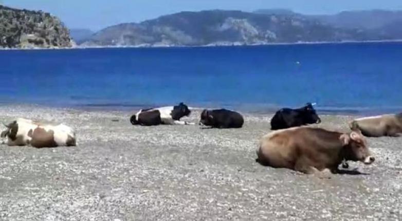 Marmaris'te Plajın Tadını Bu Sefer İnekler Çıkardı