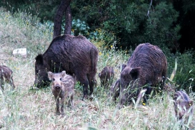 Bodrum'da Şehri Merkezine İnen Domuzların Ormanda Kalması İçin Çalışma Başlatıldı