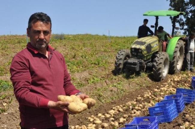Datça'da Patates Hasadı Tam Kapanmada da Sürüyor
