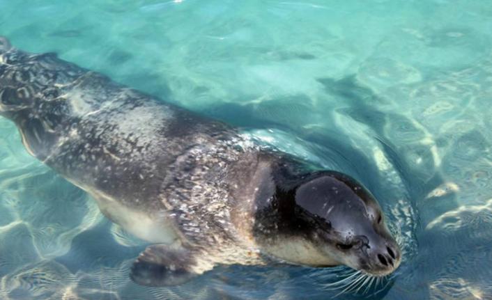 Gökova Körfezi'nde Görülen Akdeniz Foku İçin Uyarı