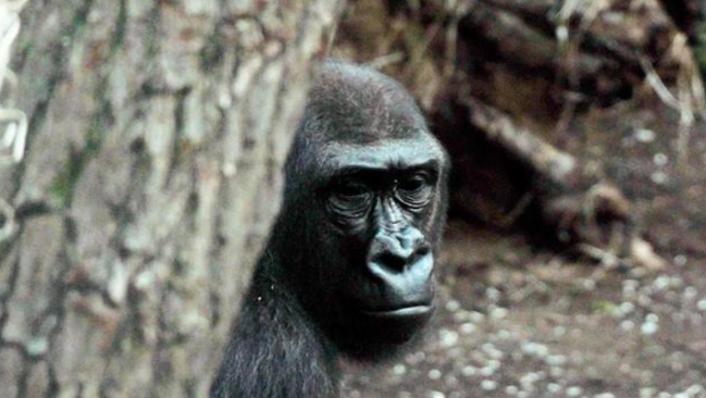 13 Gorilin Covid-19 Testi Pozitif Çıktı!