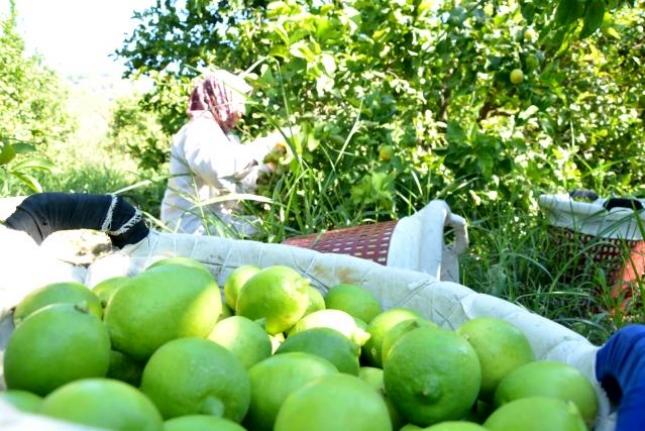 Dalaman'da TİGEM 2 Bin 200 Ton Limonu İhale ile Satışa Sunacak