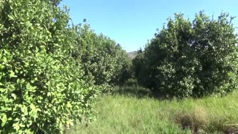 Ortaca ve Dalaman'da Üreticiler Kesim Zamanı Gelen Limona Alıcı Bekliyor
