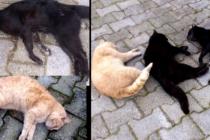 Bodrum'da Sokak Hayvanları Zehirlenerek Öldürülüyor!