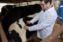 Hayvan Hastalıklarıyla Mücadelede İlk Aşıyı Müdür Saylak Yaptı