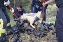 Seydikemer'de Zifte Bulanan Köpek ve 5 Kaplumbağa Kurtarıldı