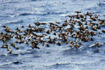 Bodrum'a Bu Sefer Turistler Değil Ördekler Akın Etti!