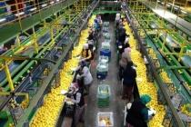 Limonda 10 Bin Ton İhracat İzni Sevindirdi