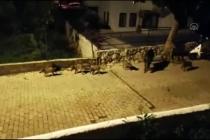 Marmaris'te Doğada Aç Kalan Domuzlar Şehre İndi