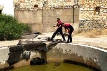 Yüzme Havuzuna Düşen Anne Domuz ve Yavrularını Kurtarıldı