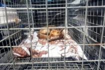 Bodrum'da Yaralı Halde Bulunan Tilki Tedavi Edildi