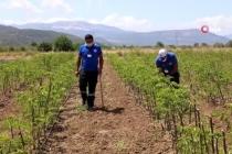 Büyükşehir'den Üreticiye 32 Bin 500 Adet Aromatik Bitki Fidanı