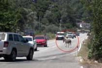 Marmaris'te Trafikte Başıboş Eşek Tehlikesi