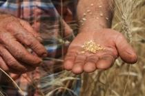 Milas'ta Ürettiği Buğday 1 Yıl Önceden Sipariş Ediliyor