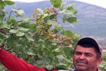 Muğla'da Hiçbir Bakım Yapılmayan Ağaçlar 30 Yıl Sonra Meyve Verdi!