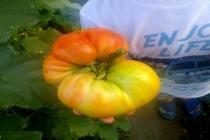 Yerel Tohumdan Üretilen 1 Domates 1 Kilo Ağırlığında!
