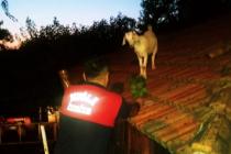 Köyceğiz'de Çatıya Çıkan Keçileri İtfaiye Kurtardı