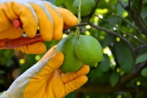 Ortaca'da Üretilen Limonun Rekoltesi Düştü