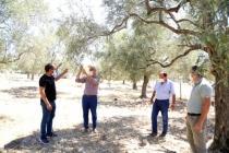Zeytin Üreticileri Halkalı Leke Hastalığına Karşı Bilgilendirildi