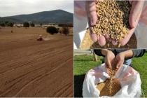 Menteşe'de Karakılçık ve Siyez Buğdayı Toprakla Buluşturuldu