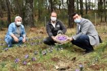 Muğla'da Sezonun İlk Safran Hasadı Seydikemer'de Yapıldı