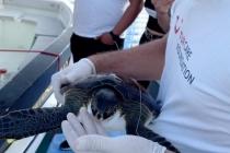 Nesli Tükenen ''Yeşil Deniz Kaplumbağası'' Kurtarıldı
