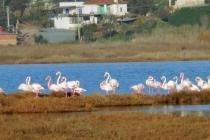 Flamingolar Muğla'ya Bu Yıl Erken Geldi
