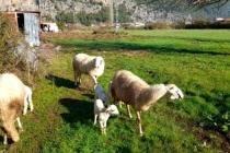 Marmaris'te Çobanları Kurt ve Domuz Korkusu Sardı