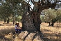 Milas'ta, Satın Aldığı Zeytinlikte 3200 Yaşında Zeytin Ağacı Çıktı