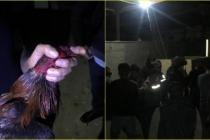 Fethiye'de Horoz Dövüştüren 20 Kişiye Paraya Cezası